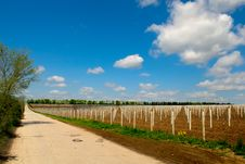Young Grape Planting Royalty Free Stock Images