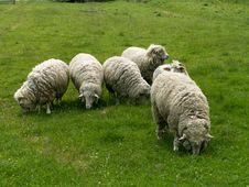 Free Sheeps Stock Photos - 2411063