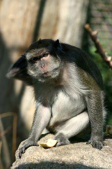 Free Monkey Royalty Free Stock Photography - 2411127