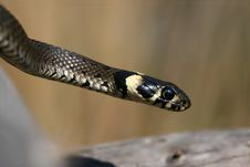 Grass Snake Royalty Free Stock Images