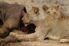 Lions At Buffalo Kill Royalty Free Stock Image