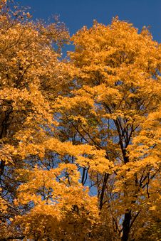 Free Orange Autumn Maples Royalty Free Stock Photo - 2412795