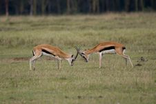 Free Thompson Gazelles Fighting Stock Photos - 2412803
