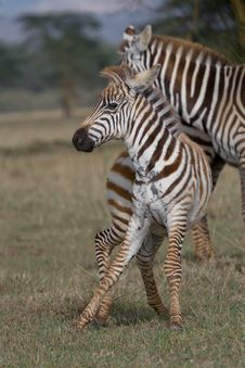 Free Plains Zebra Stock Image - 2412811