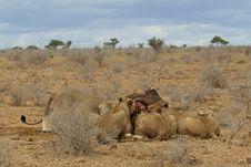Lion Pride At Kill Stock Image