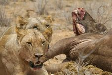 Free Lions At Buffalo Kill Stock Images - 2412884