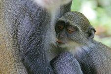 Free Monkey Infant Suckling Stock Photography - 2412942
