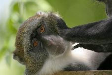 Free Monkey Being Groomed Stock Image - 2412951