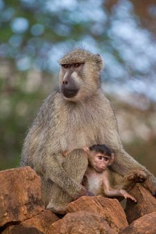 Free Baboon Mother And Infant Stock Photography - 2413002