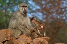 Free Baboon Mother And Infant Stock Image - 2413011