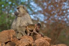 Free Baboon Mother And Infant Royalty Free Stock Photo - 2413035
