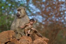 Free Baboon Mother And Infant Royalty Free Stock Photos - 2413038
