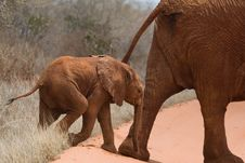 Free African Elephant Calf Royalty Free Stock Photography - 2413047