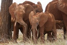 Free Elephant Siblings Stock Image - 2413061