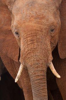 Free African Elephant Portrait Stock Photos - 2413113