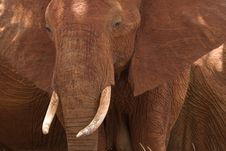 Free African Elephant Portrait Stock Photos - 2413153