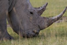 Free White Rhino Stock Photography - 2413212
