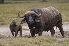 Free Cape Buffalo Stock Image - 2413271