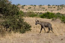 Free Spotted Hyena Stock Images - 2413284