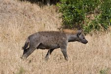 Free Spotted Hyena Royalty Free Stock Photos - 2413288