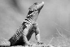 Free African Girdled Lizard. Stock Photos - 2413293