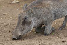 Free Warthog Portrait Stock Image - 2413331