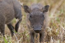 Free Warthog Piglet Royalty Free Stock Images - 2413339