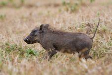 Warthog Piglet Stock Photos