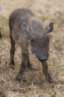 Free Warthog Piglet Royalty Free Stock Photos - 2413358