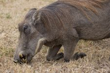 Warthog Grazing Royalty Free Stock Photos