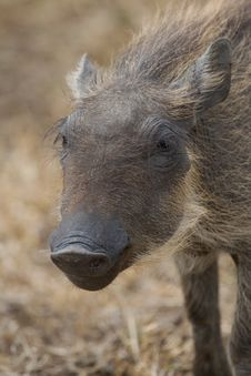 Free Warthog Piglet Royalty Free Stock Images - 2413369