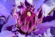 Free Beautiful Clematis Macro Royalty Free Stock Photography - 2413437