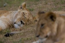 Free Sleepy African Lion Royalty Free Stock Image - 2413466
