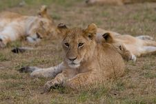 Free Lion Cub Royalty Free Stock Photography - 2413467