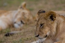 Free African Lions At Rest Stock Photography - 2413472