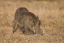 Free Warthog Stock Images - 2413494