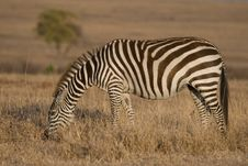Free Plains Zebra Stock Image - 2413501