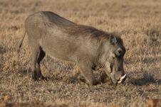 Free Warthog Stock Photos - 2413503