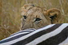 Free Lion At Zebra Kill Stock Photography - 2413542