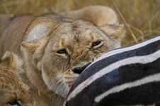 Free Lioness Eating Plains Zebra Stock Images - 2413554