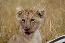 Free Lion Cub After Meal Royalty Free Stock Photos - 2413598