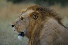 Free African Lion Stock Photos - 2413603