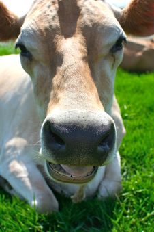 Free Jersey Cow Lying In The Grass Stock Images - 2413604