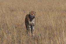 Free Cheetah Acinonyx Jubatus Royalty Free Stock Images - 2413639