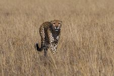 Free Cheetah, Acinonyx Jubatus Stock Photography - 2413642
