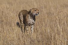 Free Cheetah Acinonyx Jubatus Stock Photography - 2413682