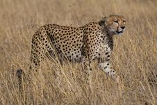Cheetah, Acinonyx Jubatus Stock Photos