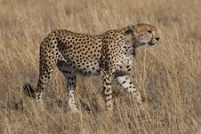 Free Cheetah Acinonyx Jubatus Royalty Free Stock Photos - 2413688