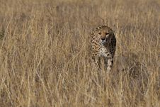 Free Cheetah, Acinonyx Jubatus Stock Images - 2413694