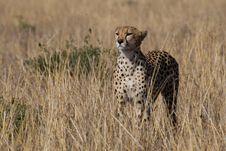 Free Cheetah, Acinonyx Jubatus Stock Image - 2413701